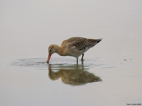 Young Blacktailed Godwit