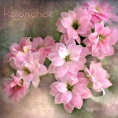 Pink Kalanchoe (Jean Turner Cain) Tags: flower flora floral flowers fleur flor bloem blomst pink texture textured textures jeanturnercain