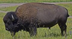 Bison from the National Bison Range in Montana (deanolind) Tags: elements bison montana brown green national bisonrange