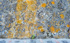 Lichen Wall (jaxxon) Tags: 2017 d610 nikond610 jaxxon jacksoncarson nikon nikkor lens nikon50mmf28g nikkor50mmf28g 50mmf28 50mm niftyfiftyprime fixed pro abstract abstraction lichen wall weathered stone old stonewall