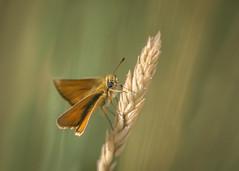 summer dream (Emma Varley) Tags: littleskipper butterfly summer july southdownsnationalpark west sussex nature grass bokeh dream shallowdepthoffield macro