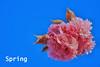 Spring Blossom (pallab seth) Tags: ornamentalcherry spring colour macro bokeh barkingpark london cherry blossoms flower sakura nature pink dof petals park mist garden evening samsung60mmf28macroedoisssalens blossom depthoffield samsungnx1