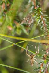 Wasp Spider (Argiope bruennichi) - male (markhortonphotography) Tags: grass waspspider markhortonphotography nature slough meadow behaviour argiopebruennichi spider lifecycle wildlife shedding arachnid shedskin exuvia surreyheath web surrey heather macro thatmacroguy invertebrate