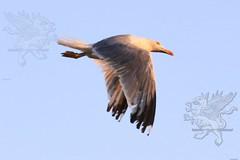 seagull2017_07.jpg