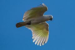 Sulphur-Crested Cockatoo in flight (RoosterMan64) Tags: australia australiannativebird bif bird birdinflight nsw nature sulphurcrestedcockatoo wildlife