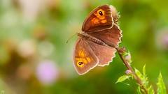 Butterfly - 3346 (YᗩSᗰIᘉᗴ HᗴᘉS +6 500 000 thx❀) Tags: 7dwf macro butterfly papillon bokeh bokehlicious beyondbokeh panasonicdmcgx8 panasonic nature hensyasmine