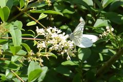 Hagtornsfjäril_7016, aporia crataegi (andersarman) Tags: fjäril butterfly blackveinedwhite tullgarn natur nature