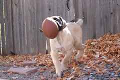 """No worries I got it"" Socrates and his football English Mastiff Animal Themes Domestic Animals Leaf Autumn One Animal Pets Puppy (milehighfordguy) Tags: englishmastiff animalthemes domesticanimals leaf autumn oneanimal pets puppy"