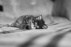Mathéo (MJC.Photography) Tags: cat cats chat chaton babycat catphotography animal animals