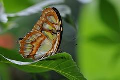 supereroe... (andrea.zanaboni) Tags: supereroe nikon macro luce light colori colors farfalla butterfly armatura ngc