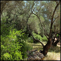 olive grove (foto.phrend) Tags: trees square green greece fujifilm olives kefalonia