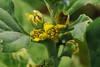 Tetragonia tetragonioides  ツルナ (ashitaka-f studio k2) Tags: flower yellow japan tetragonia tetragonioides ツルナ ハマミズナ科 aizoaceae