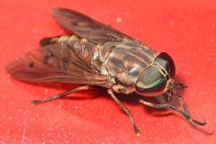 Horse Fly - Tabanus species, Merrimac Farm Wildlife Management Area, Aden, Virginia (judygva) Tags: