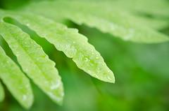 20170616-DSC_0069 (sarasimma) Tags: fern ferns spring water droplets raindrops minnesota green