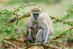 Vervet Monkey (Chlorocebus pygeruthrus), mother and baby