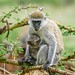 Vervet Monkey (Chlorocebus pygeruthrus), mother and baby