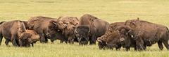 Bison Herd (Maryann's*****Fotos) Tags: batavia fermilab illinois mffotosoldsaybrook bison herd animal history prairie midwest america icon panorama