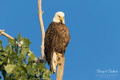 Bald Eagle keeps watch on a squirrel below