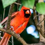 Northern Cardinal thumbnail