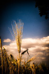 Summer grain (gernot.glaeser) Tags: blue cereals clouds colours corn grain hardlight herbsgrass landscape naturallight nature seasons sky summer androidography deu 365project europe gold project365 lowersaxony nikon niedersachsen