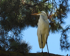 Great Egret_6737 (SharpshooterSF) Tags: wildlife nature animal outdoor critter