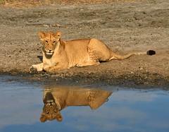 Sub-adult Lioness (Panthera leo) (Gary Stephenson) Tags: reflections lioness savuti chobenationalpark botswana bigcats marshprideelephanthunters