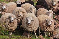 PER_3817.jpg (ro_mac) Tags: lämmer schafe ungläubig gläubig herd herde sheep devoutly devout believing unbelieving puno peru