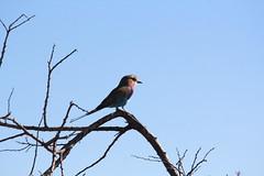 Etosha Park - Lilac Breasted Roller (diego ilsole.org) Tags: namibia etoshapark lilacbreastedroller
