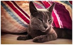 Postcard from Bronca (Yarin Asanth) Tags: bronco tired grey tiger gerdkozik yarinasanth pet cat russischblau russianblue bronconiavonblock bronca