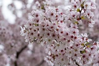 Cherry Blossoms, Tōdai-ji Temple, Nara