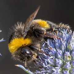 BuffTailedBumbleBee-0010.jpg (vorneo) Tags: bumblebee classinsecta kingdomanimalia bufftailedbumblebee orderhymenoptera wild familyapidae genusbombus phylumarthropoda insect speciesbterrestris subgenusbombus binomialnamebombusterrestris