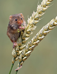 Harvest Mouse (oddie25) Tags: canon 1dx 100400mmmk11 mouse harvestmouse wheat mice mammal nature naturephotography wildlife wildlifephotography wales
