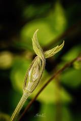 Clematis (JamesK_5) Tags: macro clematis