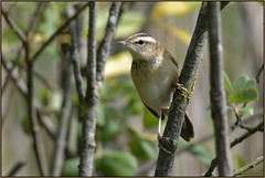 Sedge Warbler (image 1 of 2) (Full Moon Images) Tags: kings dyke wildlife nature reserve bird sedge warbler
