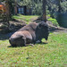 Room with a View (Jim Johnston (OKC)) Tags: buffalo americanbison oldfaithfulinn yellowstonepark wyoming dangerous