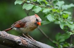 cardinal (i.snaps) Tags: bird birds cardinal ottawa ontario mudlake 200500mm juvenile