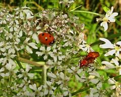 Keep On Dogging In The Beast World (Bricheno) Tags: macro insect bug ladybug ladybird beetle beetles kilwinning irvine bricheno scotland scozia szkocja scoția schottland écosse escocia escòcia ayrshire