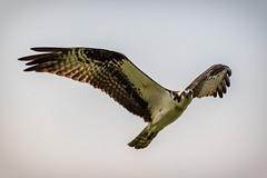 osprey stare (david_sharo) Tags: nature wildlife moraine pennsylvania