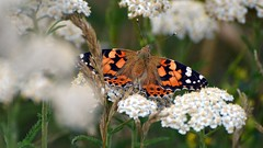 Painted Lady Butterfly (5) (John Carson Essex UK) Tags: thegalaxy thegalaxystars rainbowofnature supersix