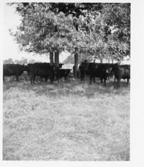 342 (kentuckyffa) Tags: sae beef cattle herd