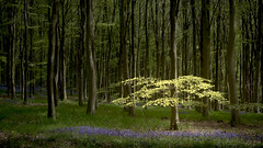 tutu (Rob Scamp) Tags: woodland woods wales beech bluebells forest robscamp nikon d810