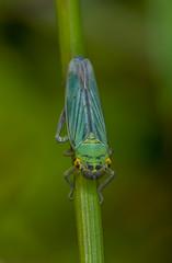 Leaf Hopper (joolz70) Tags: nikon d200 105mm dg sigma nature outdoors