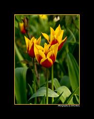 Tulpen (Dirk Marx) Tags: tulpen narzissen dahlien rittersporn landesgartenschau badlippspringe natur blüten blumen pflanzen