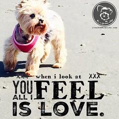 I'm positively filled with love. (itsayorkielife) Tags: itsayorkielife yorkie yorkielove yorkiememe yorkshireterrier