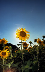 Sunflower (thall80) Tags: meta35 sunflowers 2017 nikon f6 ektar100 july film kodak