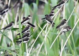 Bank Swallow - Hirondelle de rivage - Riparia riparia (D72_2351-1F-20170718)