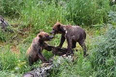 Grazer's Cubs (raewynp) Tags: alaska katmainationalpark katmai katmainp bear bears brownbear cubs yearlings grazer 128 brooksfalls brooksriver wildlife ursusarctos