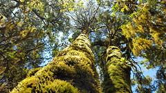 20170716_115316 Incredible forest in Ixtlan de Juarez (Ludovic Celle) Tags: ixtlan oaxaca juarez forest altitude sierra norte mexico tree moss canopy
