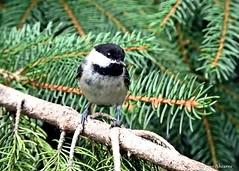 Black-capped Chickadee (Anne Ahearne) Tags: chickadee bird birds nature wildlife animal animals spruce tree