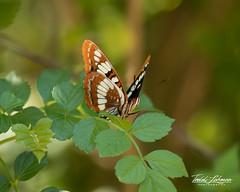 Lorquin's Admiral (ToddLahman) Tags: lorquinsadmiral butterfly beautiful africanloop canon7dmkii canon canon100400 closeup photooftheday outdoors sandiegozoosafaripark safaripark escondido
